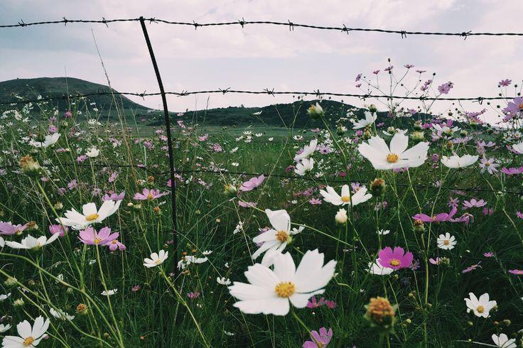 Kosmos flowers #southafrica