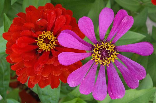 Zinnia Flowers - Zinnia Flower Pictures, Seeds, & Meanings