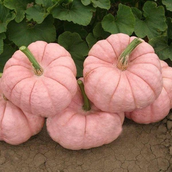 10PCS Pink Pumpkin Seeds Rare Popular & Cute Color No GMO Delicious DIY Home Vegetable