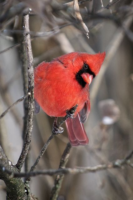 flowerling:  Northern Cardinal by Stephen A. Wolfe