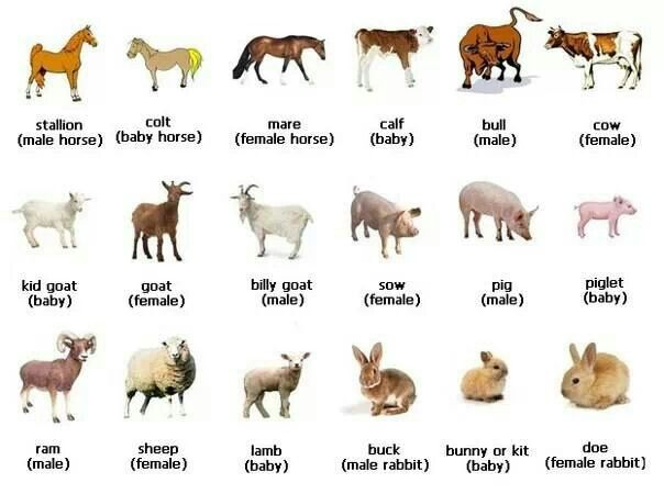English vocabulary - animals, female and baby names