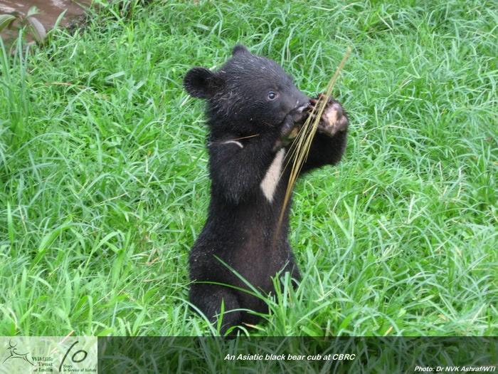 Asiatic Black Bear Cub | Baby Bears | Pinterest | Bears ...