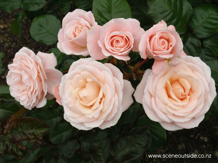 Rosa 'Dear One', described and illustrated in the plant guide of my website http://www.aboutgardendesign.com