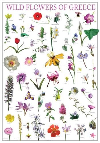 Poster wild flowers of greece, greek nature, mediterraneo editions, www.mediterraneo.gr