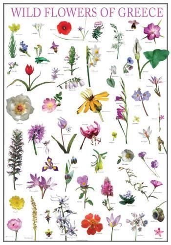 Poster wild flowers of greece, greek nature, mediterraneo editions, www.mediterraneo.gr
