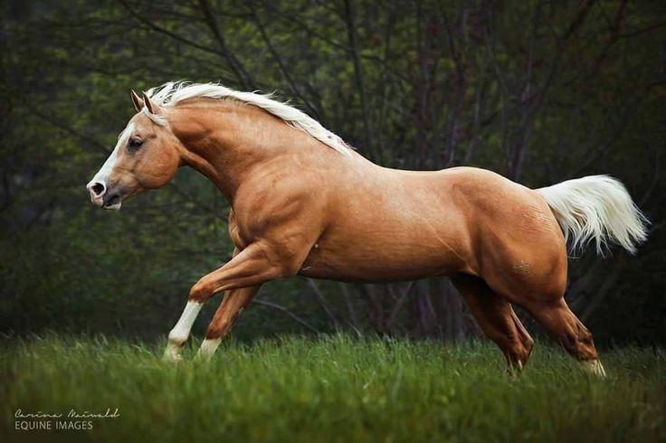 Stunning Quarter Horse stallion, Little Chex To Cash. photo by Carina Maiwald