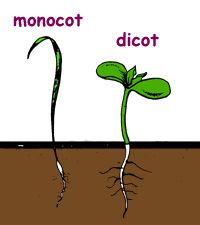 Science week 8   Diagram of Monocot/Dicot on The Great Plant Escape