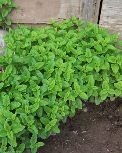 Lemon Balm-natural mosquito repellant, grows in sun or shade. Tends to take over, so best in container/pots around deck, patio, front and back door.