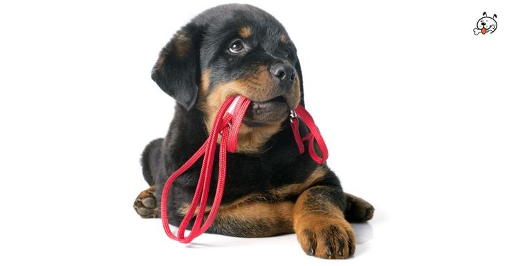 Are you interested in #Rottweiler Puppies? Click here: http://puppies4all.com/rottweiler-puppies-for-sale/