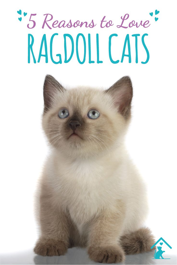 We love the #ragdoll cat breed! Click the pin to learn more!