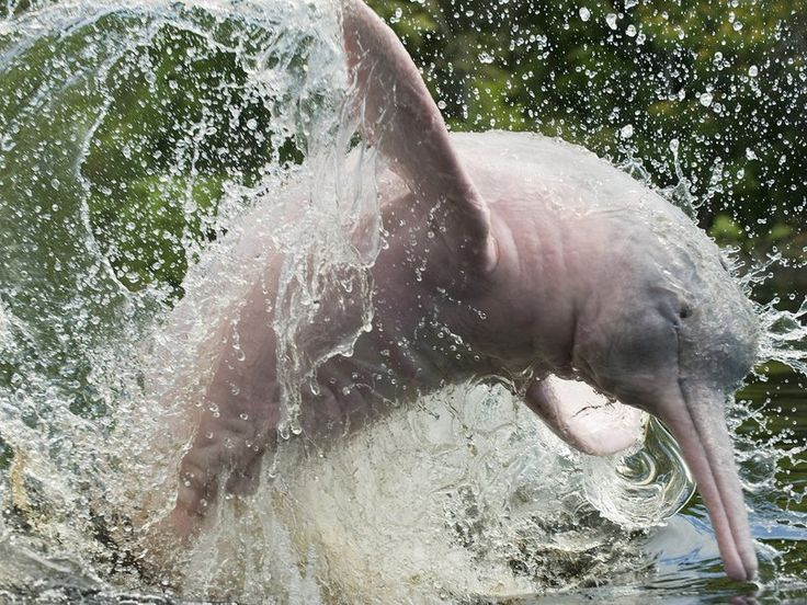What can we do about the Amazon River Dolphin's Endangerment?