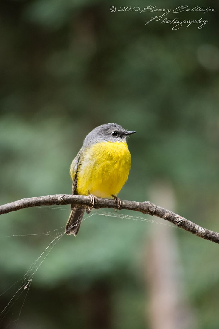 An Eastern Yellow Robin, such an amazing bird.  This one let me come within a few metres of it.