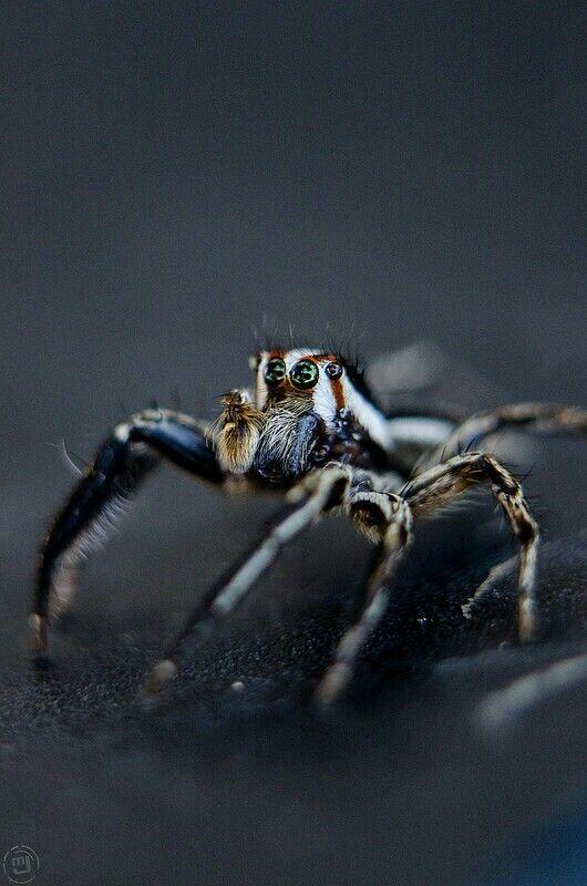 Jumping spider Thailand