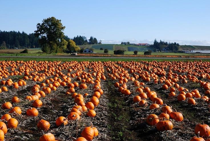 Pumpkin Fields, Saanich Peninsula, Victoria