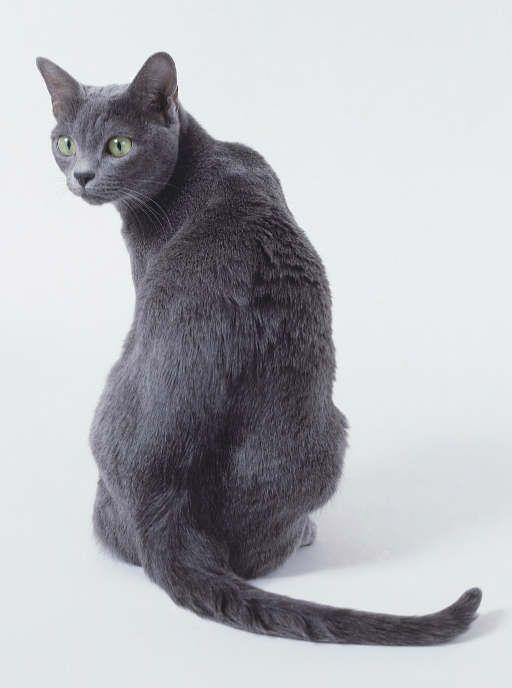 Korat Cat, looks just like my cat Kiara, but she is not a korat!