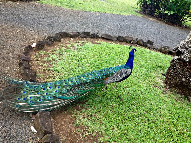 There are many peacocks at the Ancient Hawaiian Village in our All-inclusive Kauai Vacation Package www.aloha-hawaiian.com #Hawaii #Kauai #hawaiivacation #hawaiitoursandactivities #kauaiallinclusive