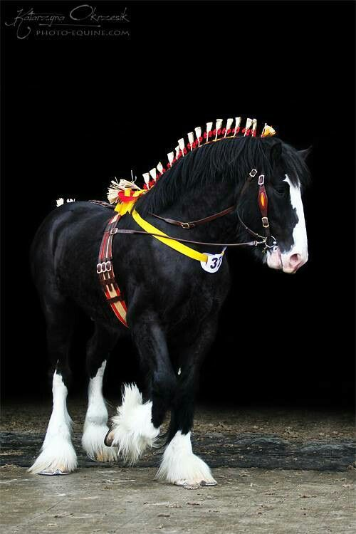 Dressed up Draft horse. Beautiful dark black horse with lovely white feathered feet and white blaze.