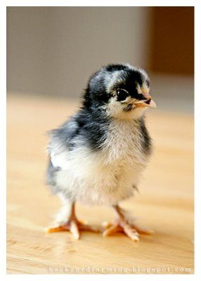 baby chic... (This web site gives info: backyard chickens 101 - how to select and keep chickens.) I never knew! :)
