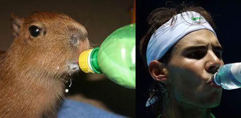 drinking capybara