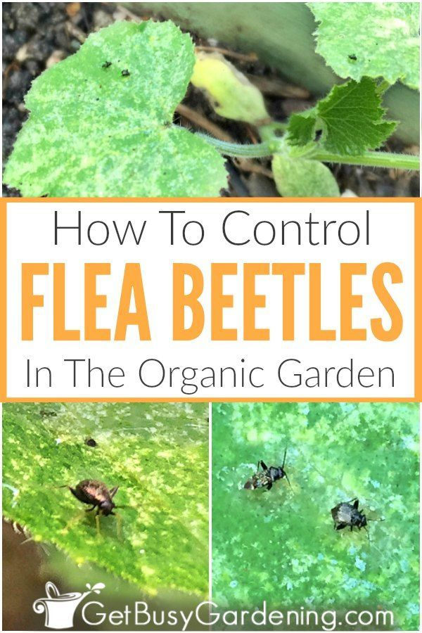 b8cbc912b38c74346a253d2600facc92 - How To Get Rid Of Flea Beetles On Potato Plants