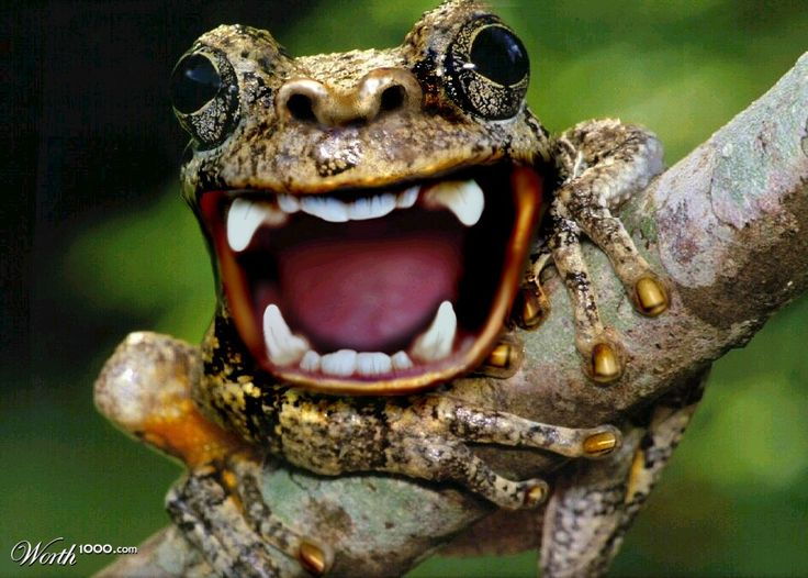 madagascar monkey frog subsists mostly on insects snails