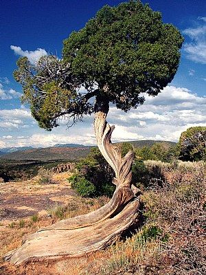 """Juniper: Tree of Love Attraction  Symbol of luck and protection.Seen as one of the most powerful of all fairy tales trees. In the language of flowers symbolizes perfect loveliness, beauty and protection and was said to have sheltered the prophet Elijah. Legends of old tell us """"Frau Wachholder"""" the Jupiter tree goblin, could be invoked to make thieves return stolen goods to their rightful owners."""
