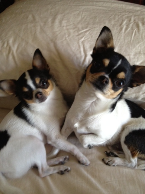 growing up in chihuahua Chihuahuas: the most honest dog breed review you'll ever find about chihuahua temperament, personality, behavior, traits, and characteristics.