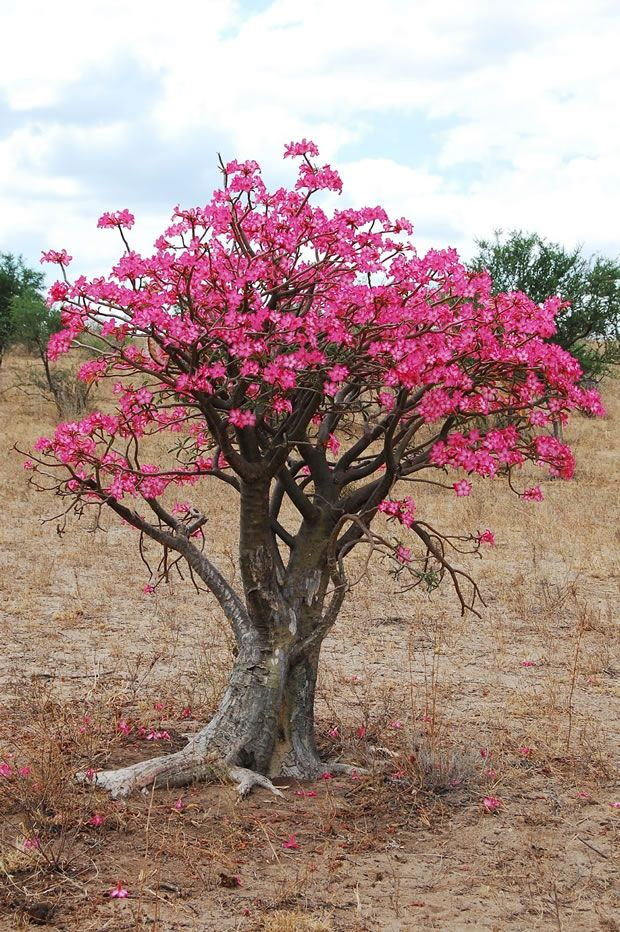 Adenio o rosa del desierto: la flor que despierta del frío