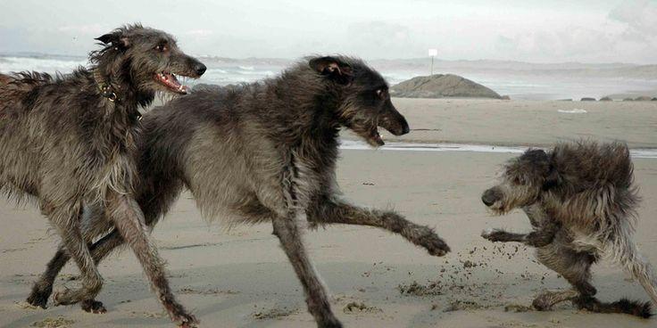 Official website for Scottish Deerhounds in Norway
