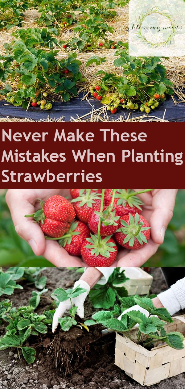 Planting Strawberries Don T Make These Mistakes Strawberry