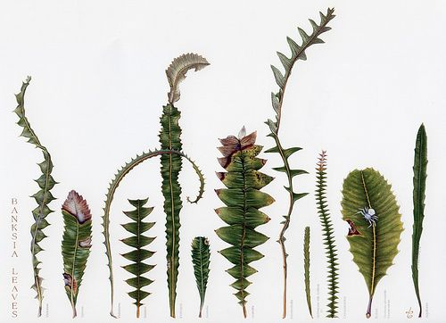 banksia leaves - Google Search