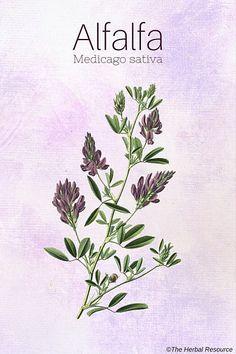 alfalfa herb (Medicago sativa)