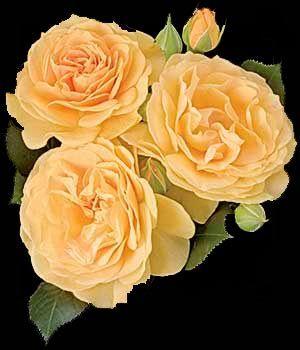 Julia Child - best yellow floribunda EVER.