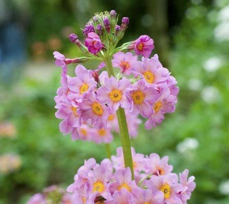 Japanese Candelabra Primrose Primula Japonica From