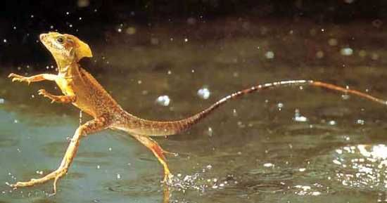 This animal is my favorite! These little guys are Called Jesus lizards.  Of course because they can run on top of the water.