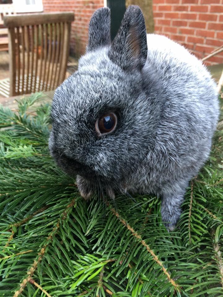 Tiny gray bunny