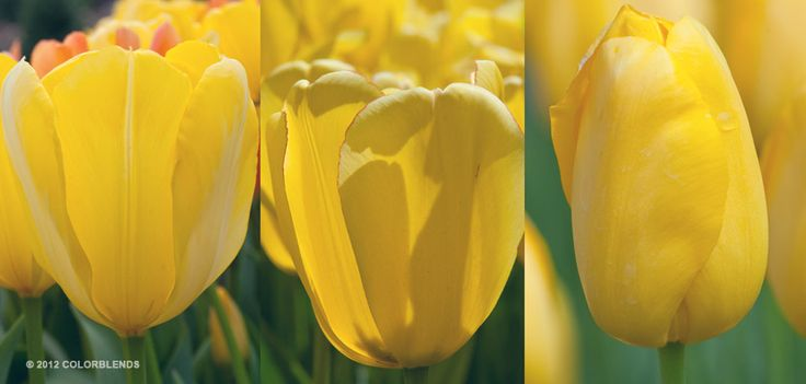 "A photograph of the the spring flowering Tulip Bulbs cultivar ""Yellow Cubed"" 