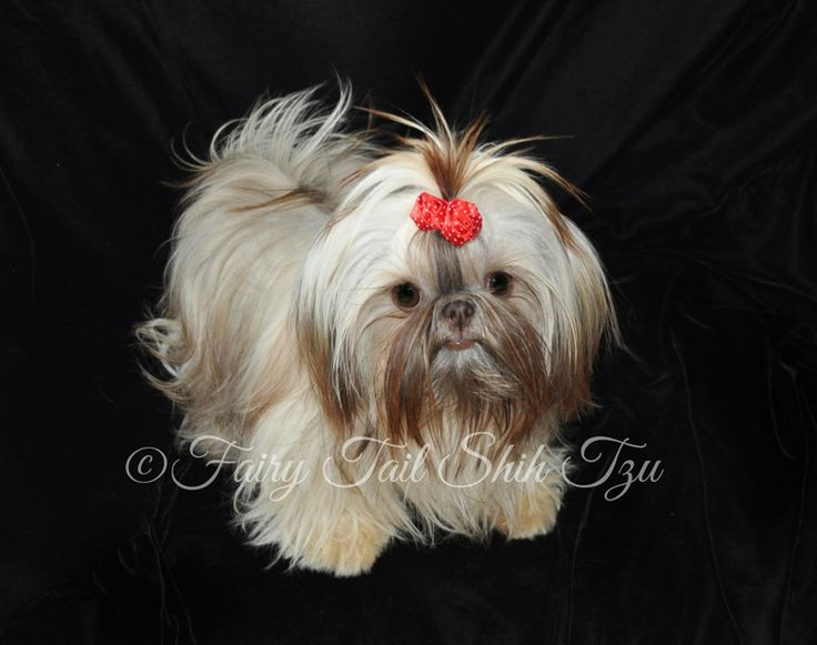 This gorgeous girl is Rain, she is a blonde liver female in long coat & is ready for adoption.  Visit our Nursery for more info on our fur babies or other puppies that are currently available.  Health guarantee- worldwide shipping - Fairy Tail Shih Tzu - Tiny Teacup Imperial Shihtzu Purse Puppy Puppies for sale  http://fairytailshihtzu.com/nursery.html