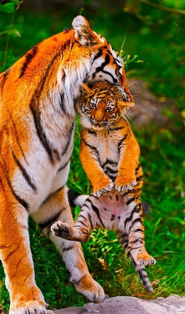 Baby Tiger and Mom