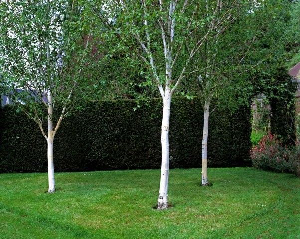 16 best images about the best small garden trees on for Best small trees