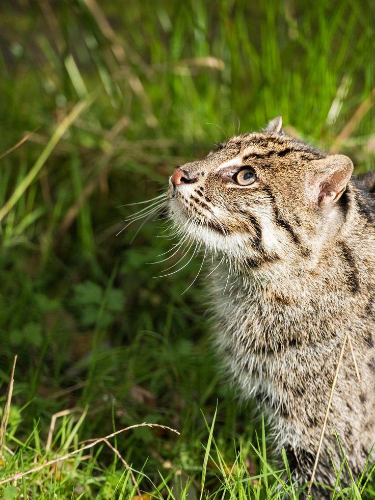 Fishing Cat Series - Taken at the WHF in Kent.