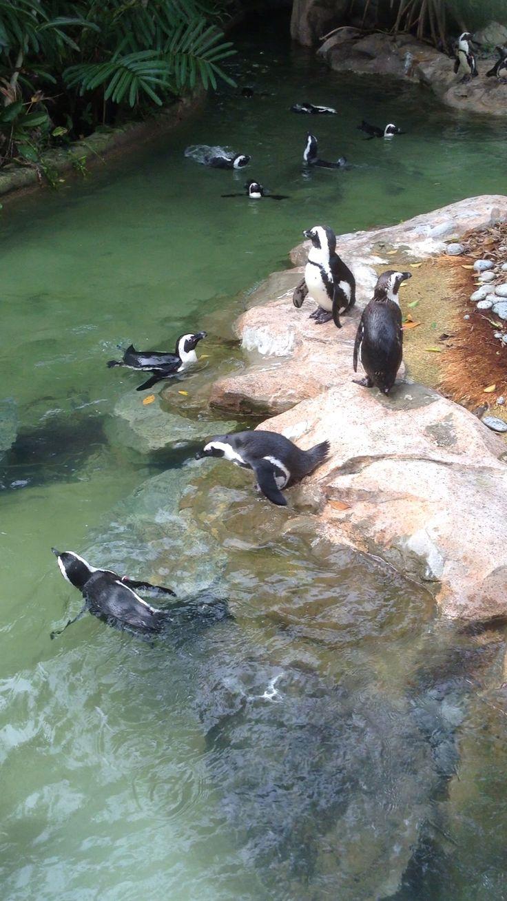 Penguins at the bird park #Singapore