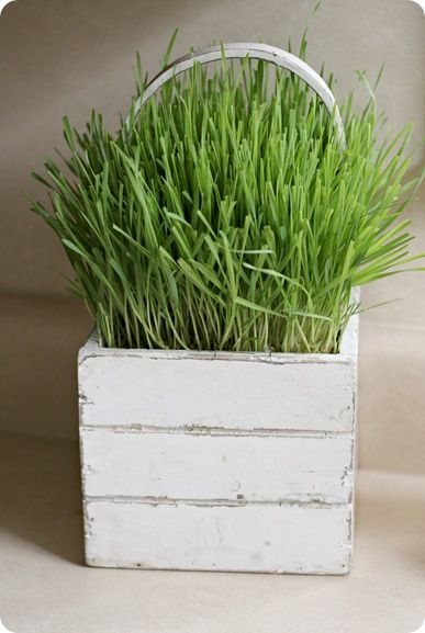Growing wheat grass... cute for Easter! #easter #wheatgrassIdeas, Easter, Growing Grass, 320 Sycamore, Wheat Grass, Spring Decor, Growing Wheatgrass, Plants, Wheatgrass Centerpieces