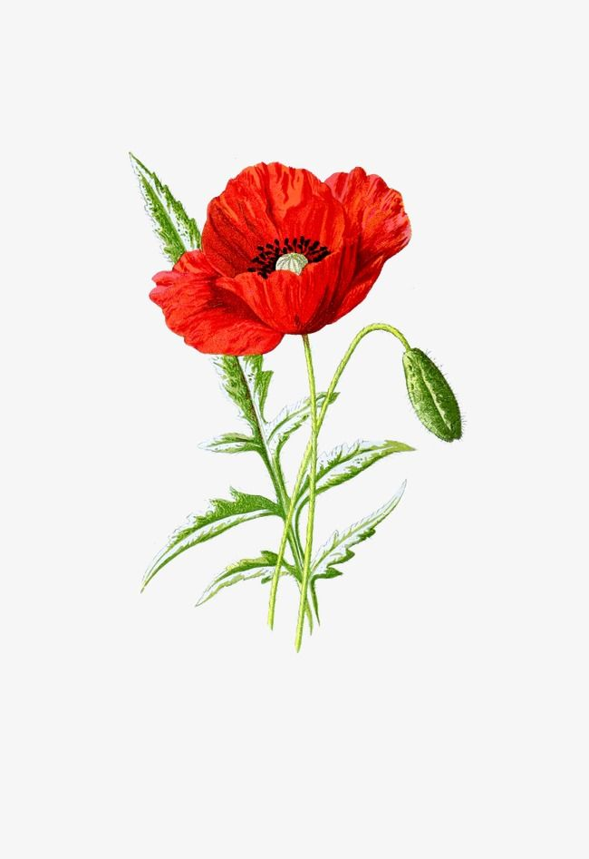 Poppies Poppy Flower Flowering Png Transparent Clipart Image And Psd File For Free Download Flower Clipart Digital Flowers Poppy Flower