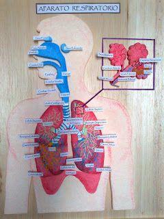 Es importante conocer las partes de nuestro aparato respiratorio,así como también debemos aprender a cómo cuidarlo para tener una mejor salud.