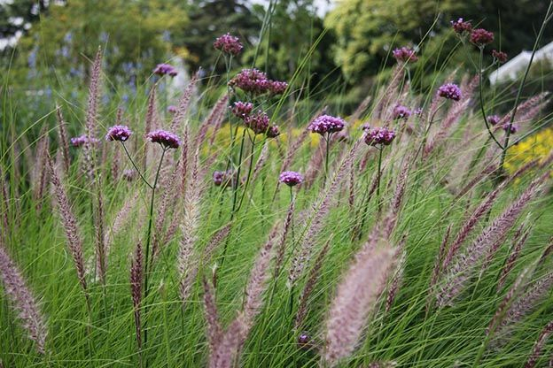 This plant looks a bit like a stick figure with arms and a small mop of lavender blooms on top, mimicking hair.
