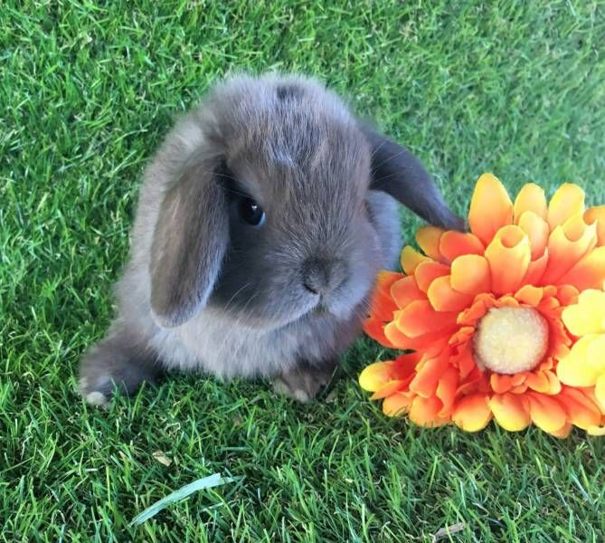 PURE BRED CHOCOLATE MINI LOP BABIES Xmas Ready | Rabbits | Gumtree Australia Western Australia - Perth Region | 1131209453
