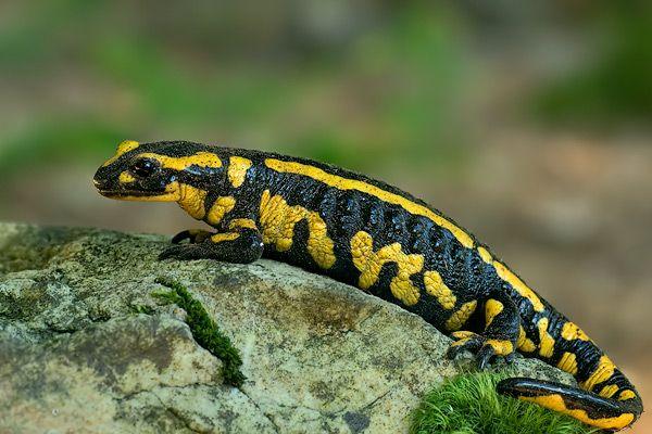 Fire Salamander  Salamandra salamandra