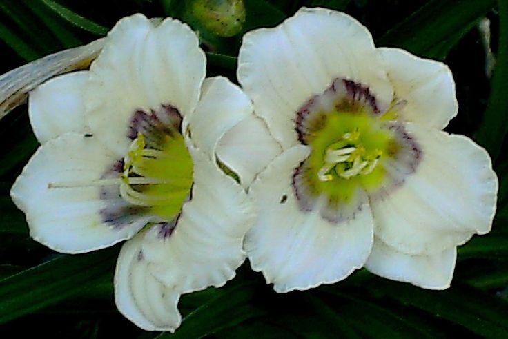Hemerocallis (daylily) - All American Baby - perennial plants | eBay
