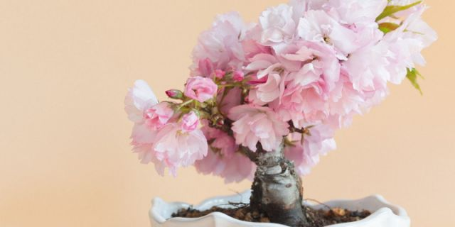 Amazon Is Selling A Grow Your Own Cherry Blossom Bonsai Tree Kit For 13 Cherry Blossom Bonsai Tree Bonsai Tree Cherry Blossom